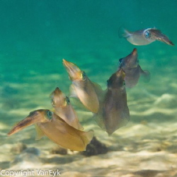 Calamari Swimming in formation - by Bill Van Eyk